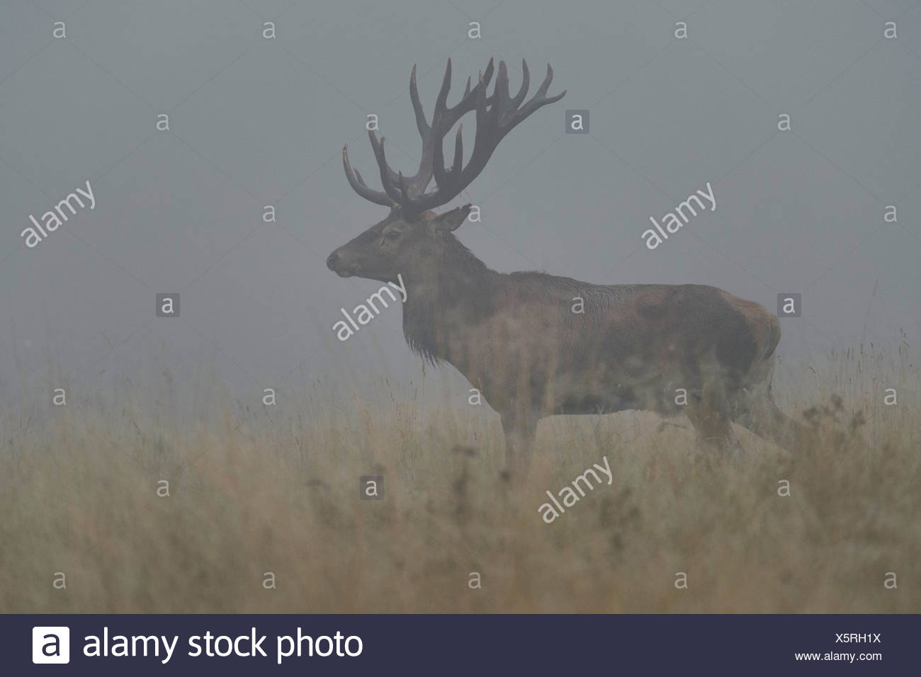 red deer (Cervus elaphus), imposing old stag in mist, Denmark - Stock Image