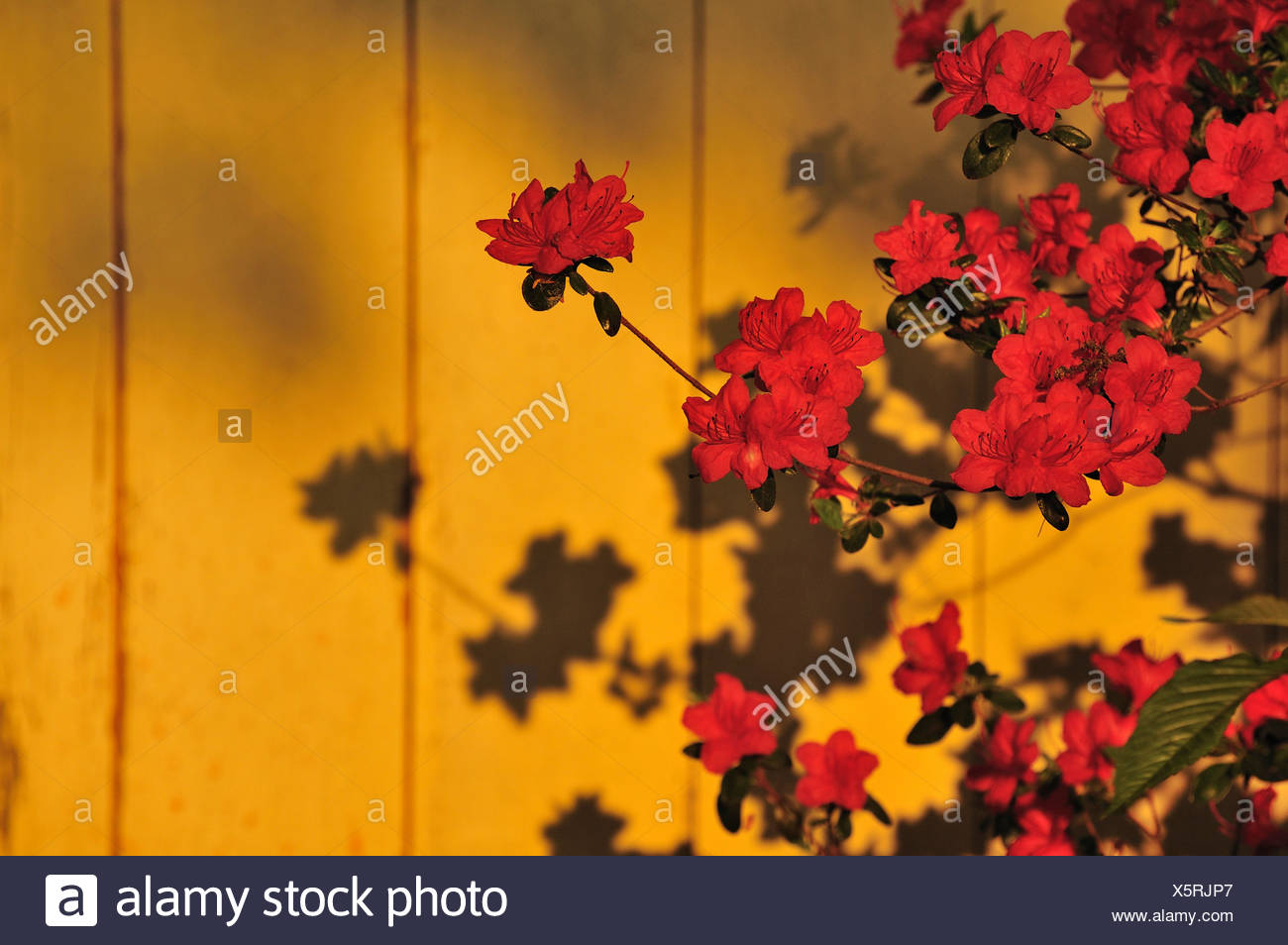 Yellow Azalea or Honeysuckle Azalea (Rhododendron luteum) with shadow in front of a wooden wall Stock Photo