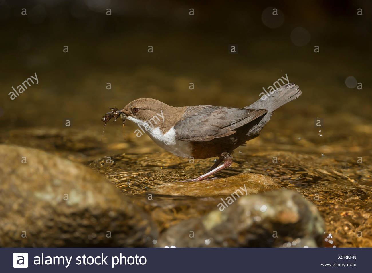 white-throated dipper with cue, Trentino Alto-Adige, Italy - Stock Image