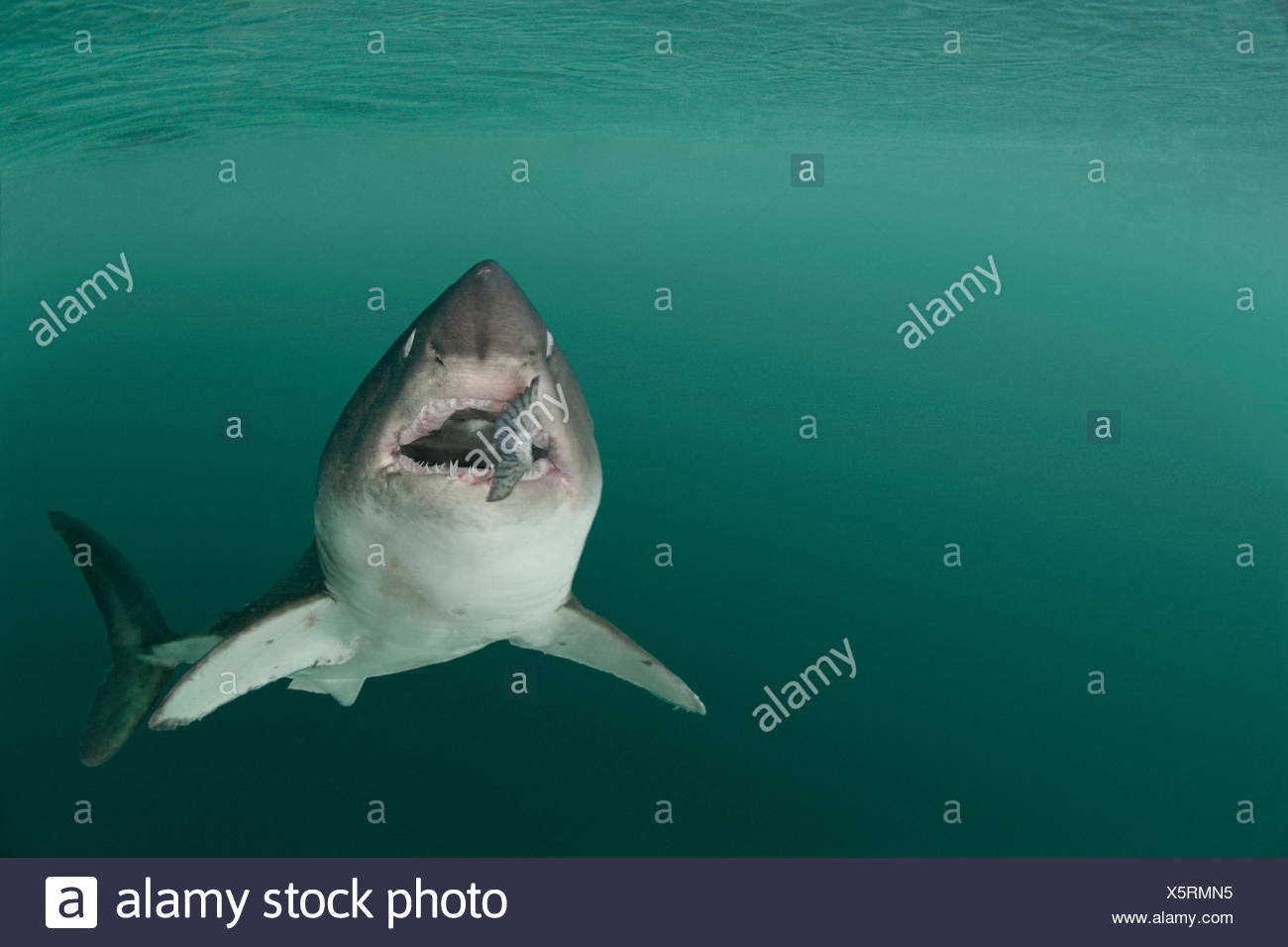 Salmon shark {Lamna ditropis} captive, with salmon in mouth (eyes are rolled back for protection), Prince William Sound, Alaska, USA, (digitally modified) - Stock Image