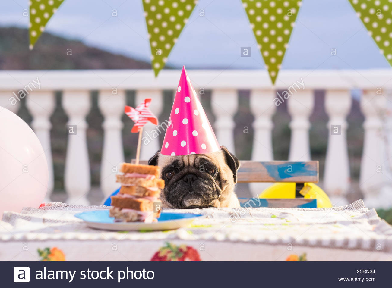 Pug wearing party hat at table   sandwich - Stock Image