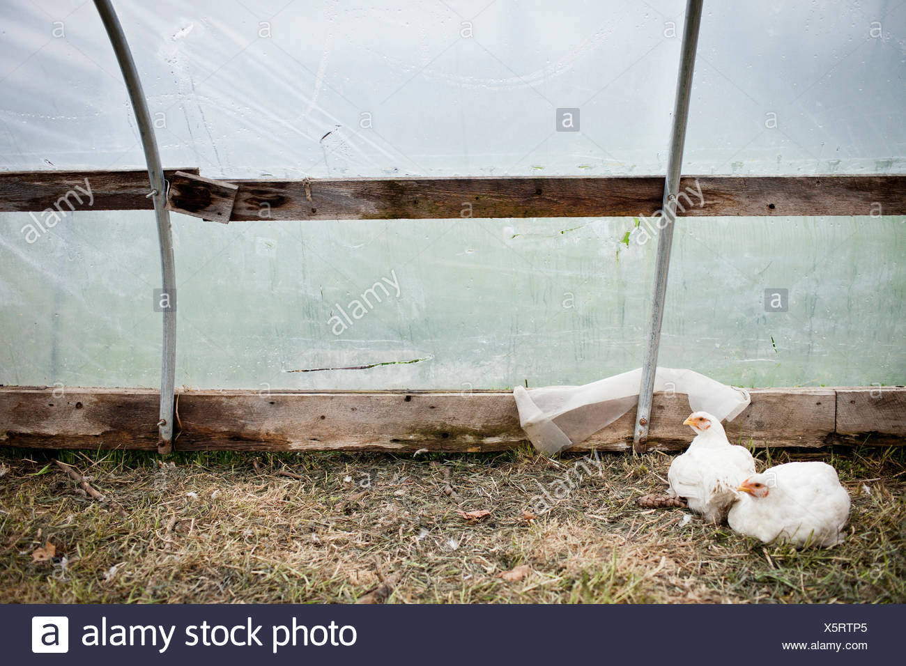 Chickens In Hen House Stock Photos & Chickens In Hen House Stock ...