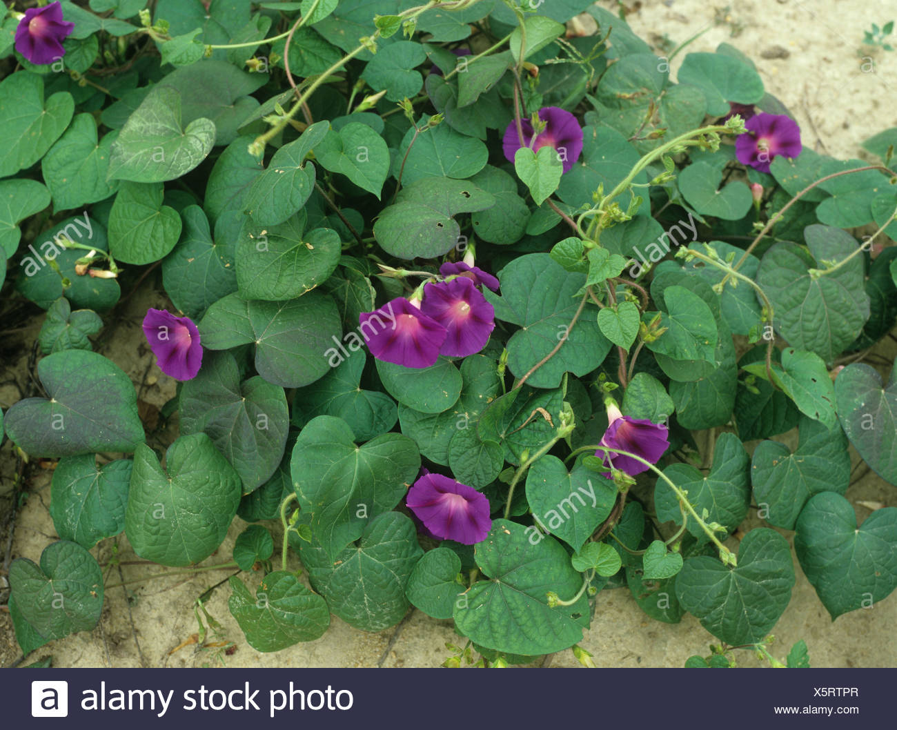 Purple morning glory (Ipomoea purpurea) flowering plant - Stock Image