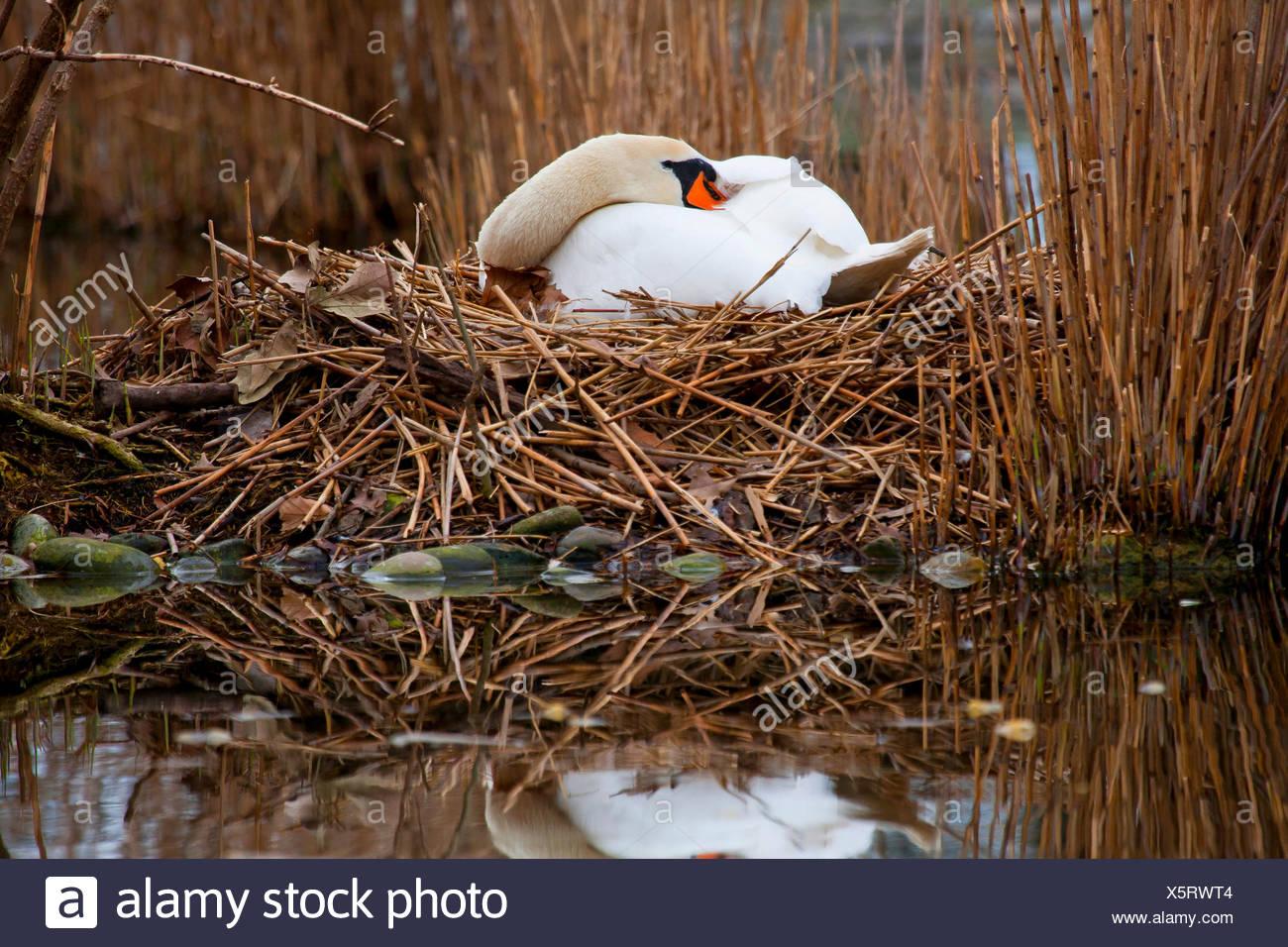 Hoeckerschwan, Hoecker-Schwan (Cygnus olor), bruetet auf dem Nest, Seitenansicht, Deutschland, Baden-Wuerttemberg | mute swan (C - Stock Image