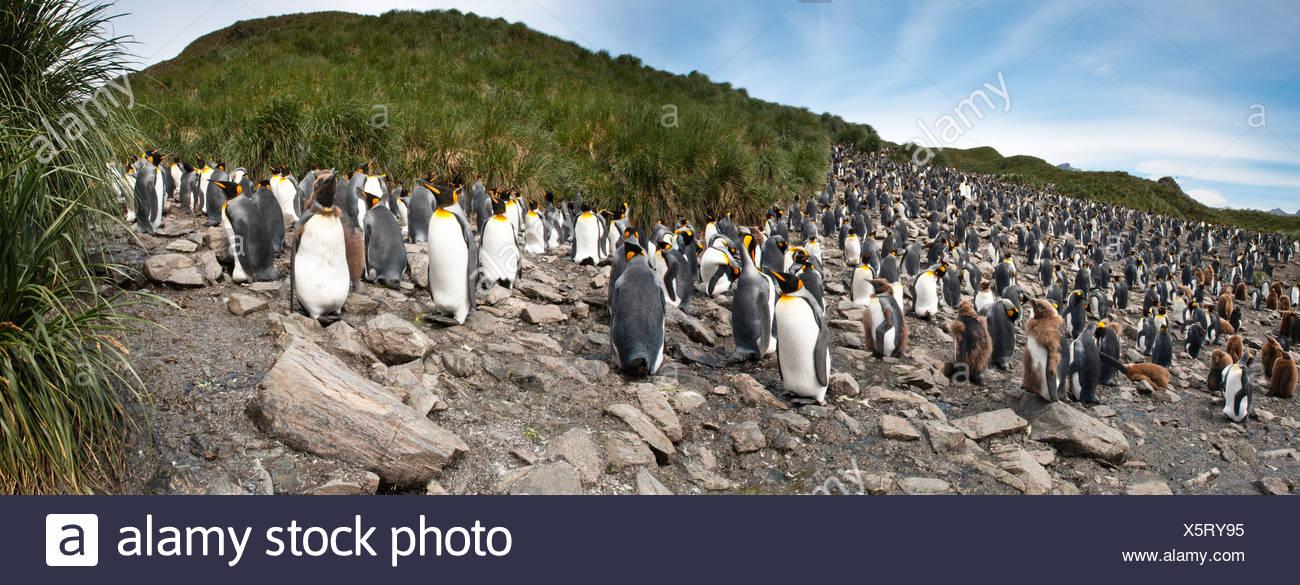 King Penguin breeding colony, Salisbury Plain, South Georgia, South Atlantic. - Stock Image
