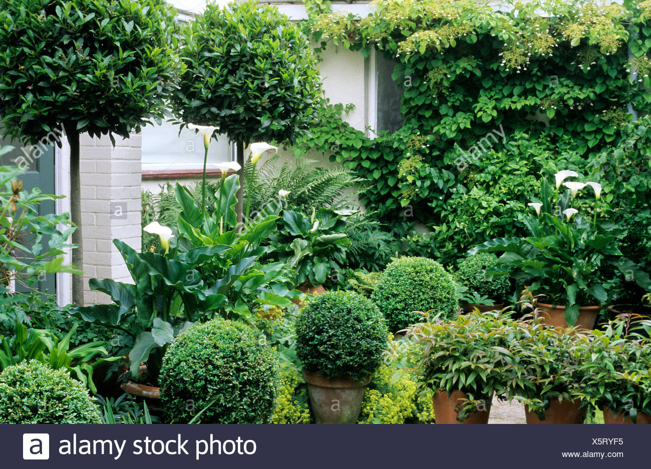 Green And White Topiary Garden Box Standard Bay Balls Zantedeschia Back Door Patio Containers Pots Stock Photo Alamy