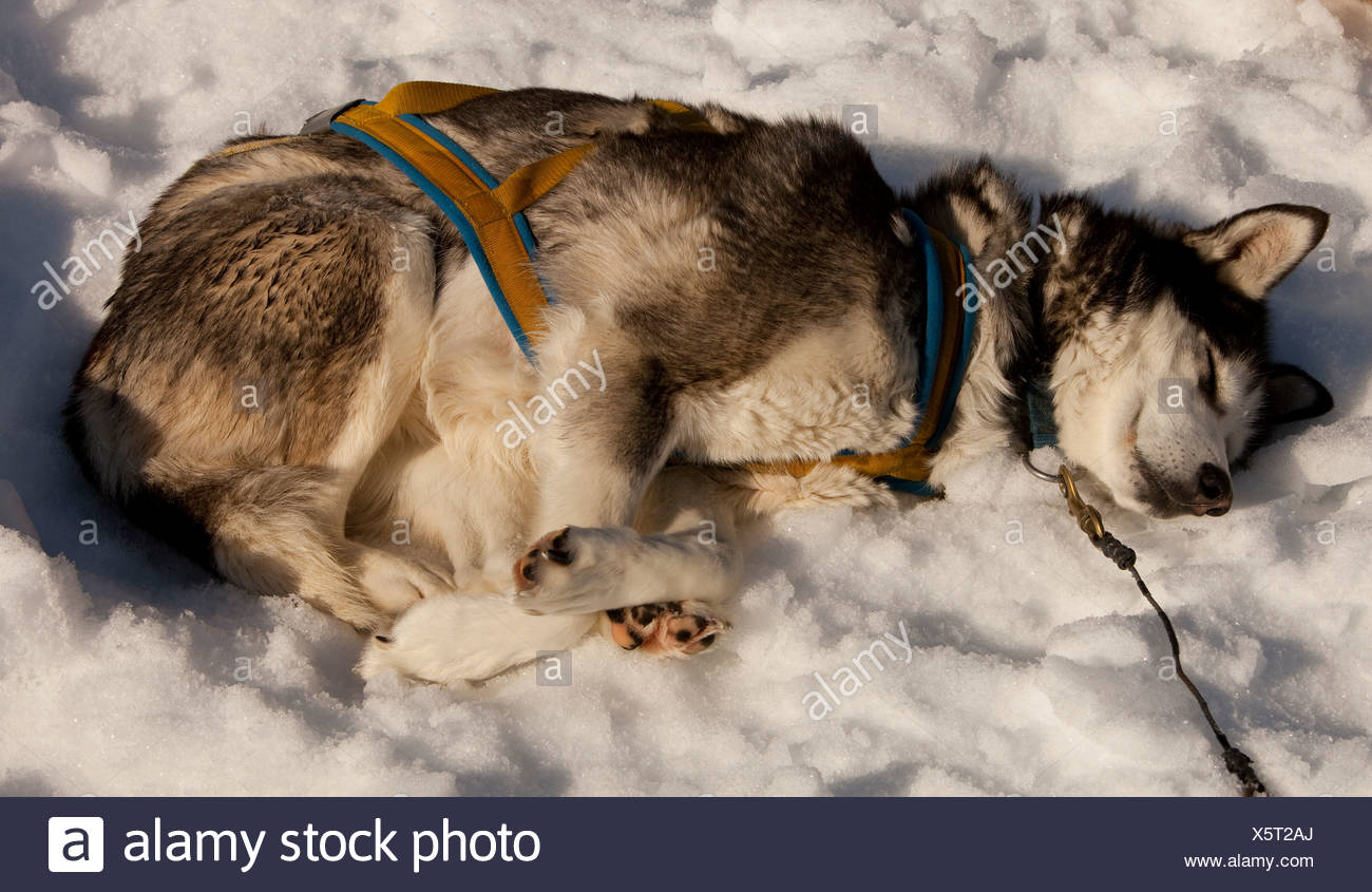 Sled dog in harness resting, sleeping in snow and sun, stake out cable, Alaskan Husky, Yukon Territory, Canada - Stock Image
