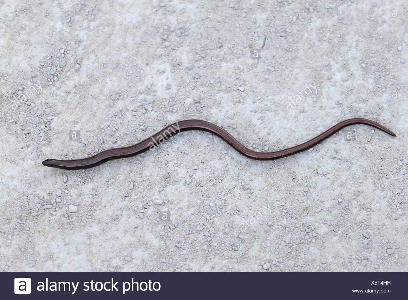 European slow worm, blindworm, slow worm (Anguis fragilis), creeping on the ground, France, Camargue Stock Photo
