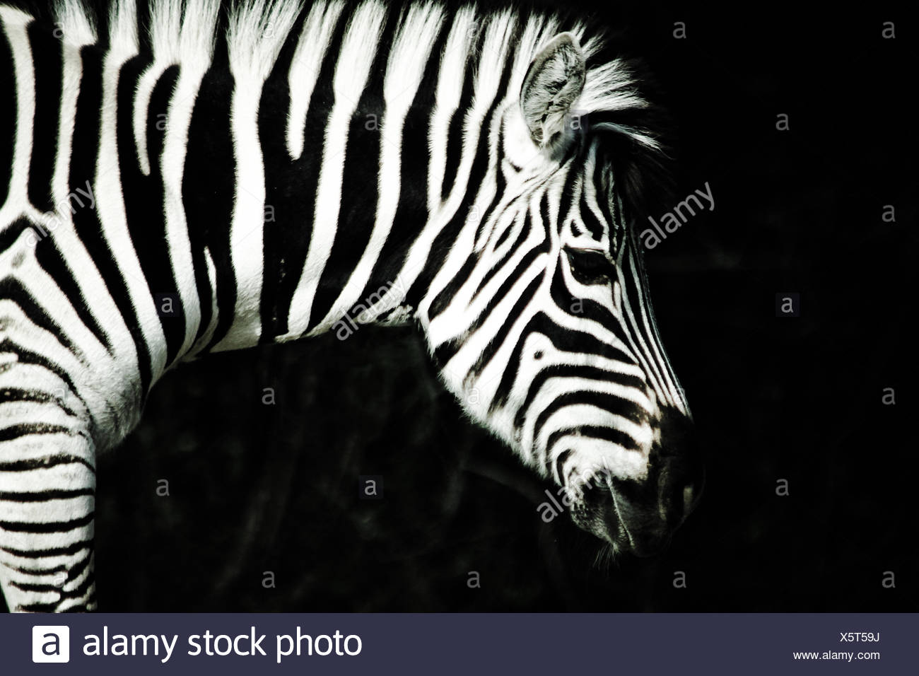 Close-Up Of Zebra In Forest At Night - Stock Image