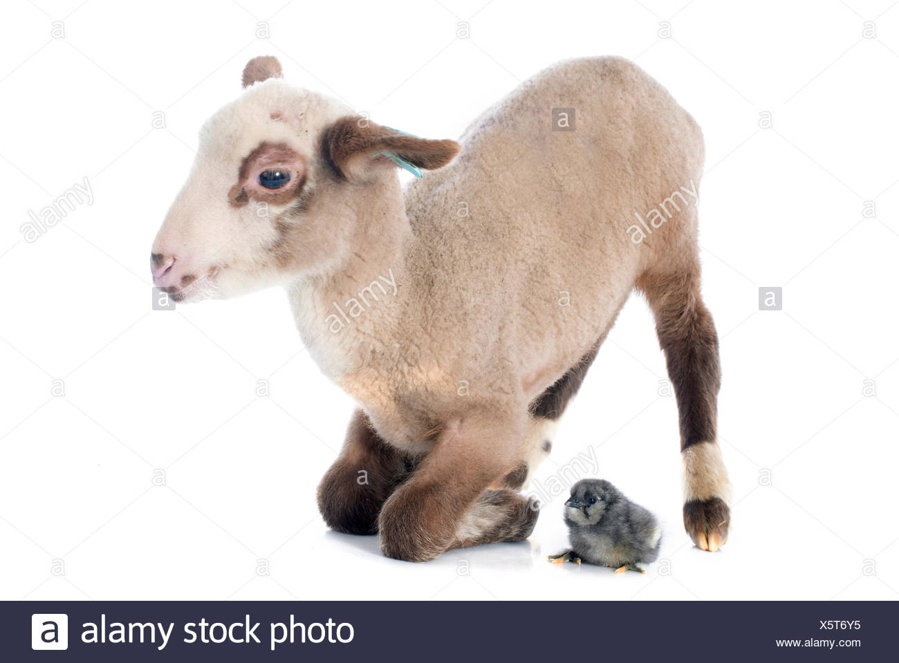 young lamb and chick  in front of white background - Stock Image