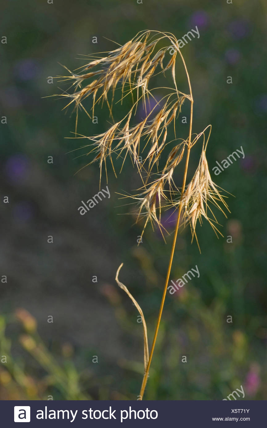 downy chess, drooping brome, cheat grass (Bromus tectorum), inflorescence, Germany - Stock Image