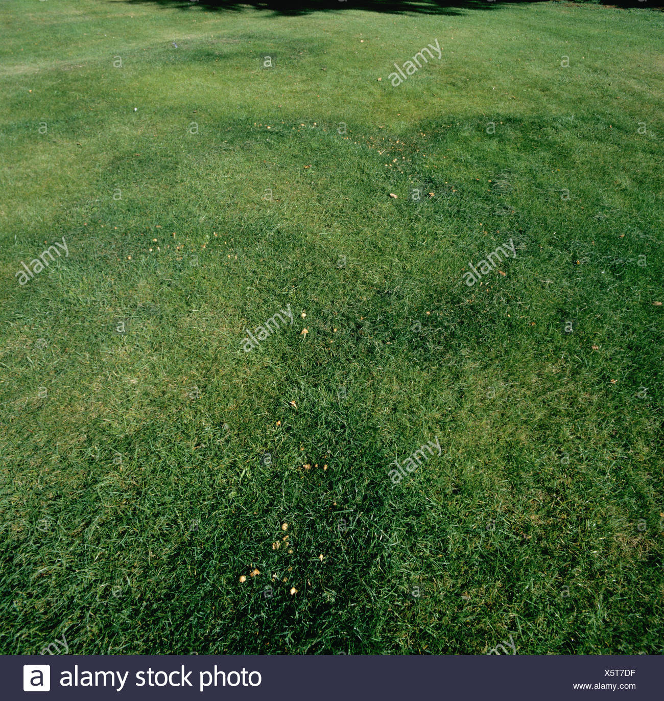 Fairy rings (Marasmius oreades) in lawn at Reading University - Stock Image