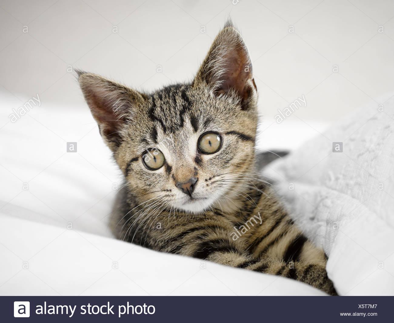 Kitten relaxing in blankets - Stock Image