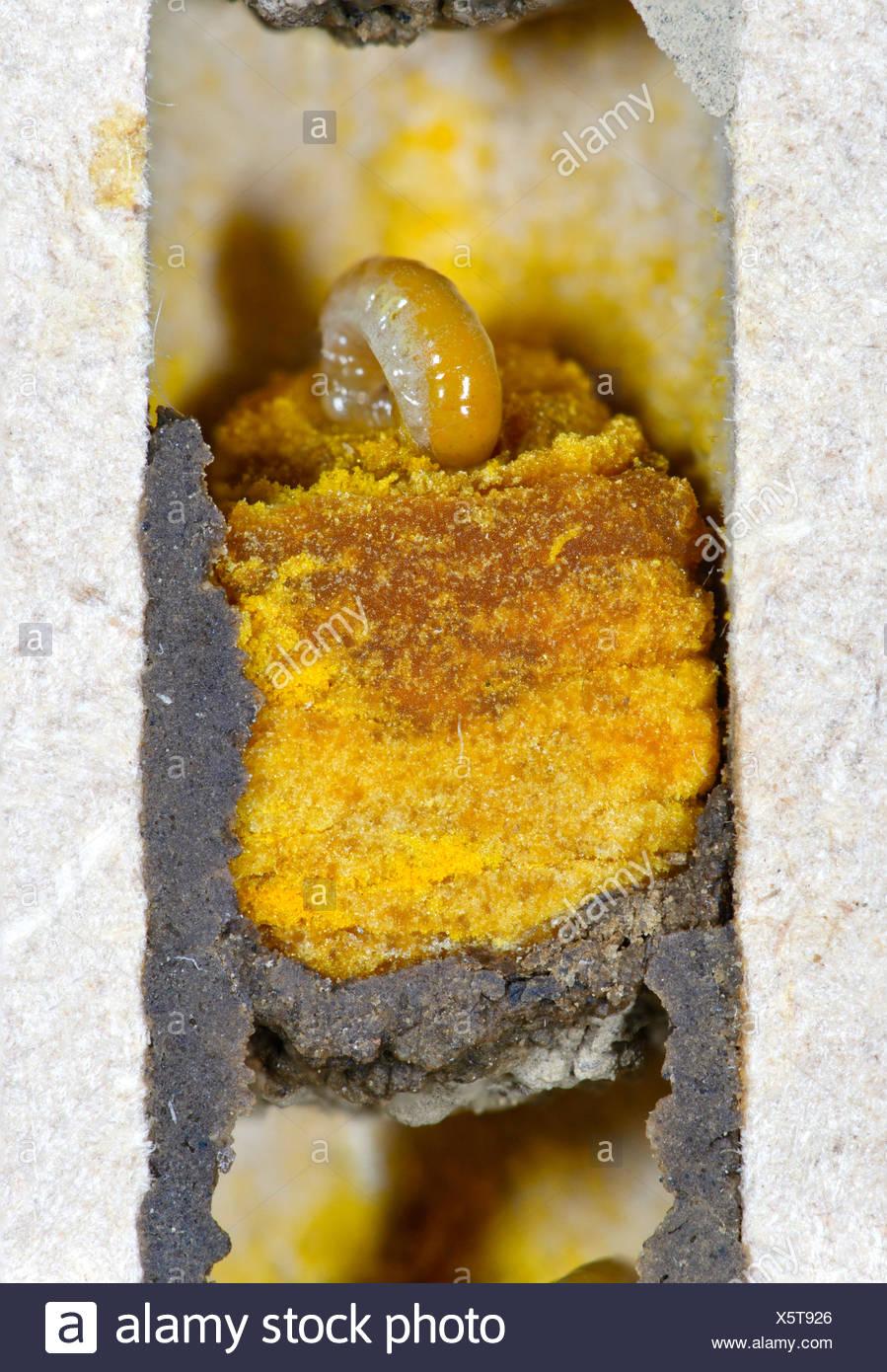 Larven der Gehörnten Mauerbiene (Osmia cornuta) fressen einen Pollen-Nektarbrei (Pollenbrot) in Brutzellen mit Trennwänden aus L - Stock Image