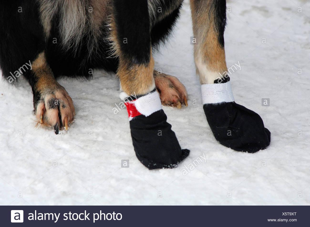 Husky paws with black booties Stock Photo