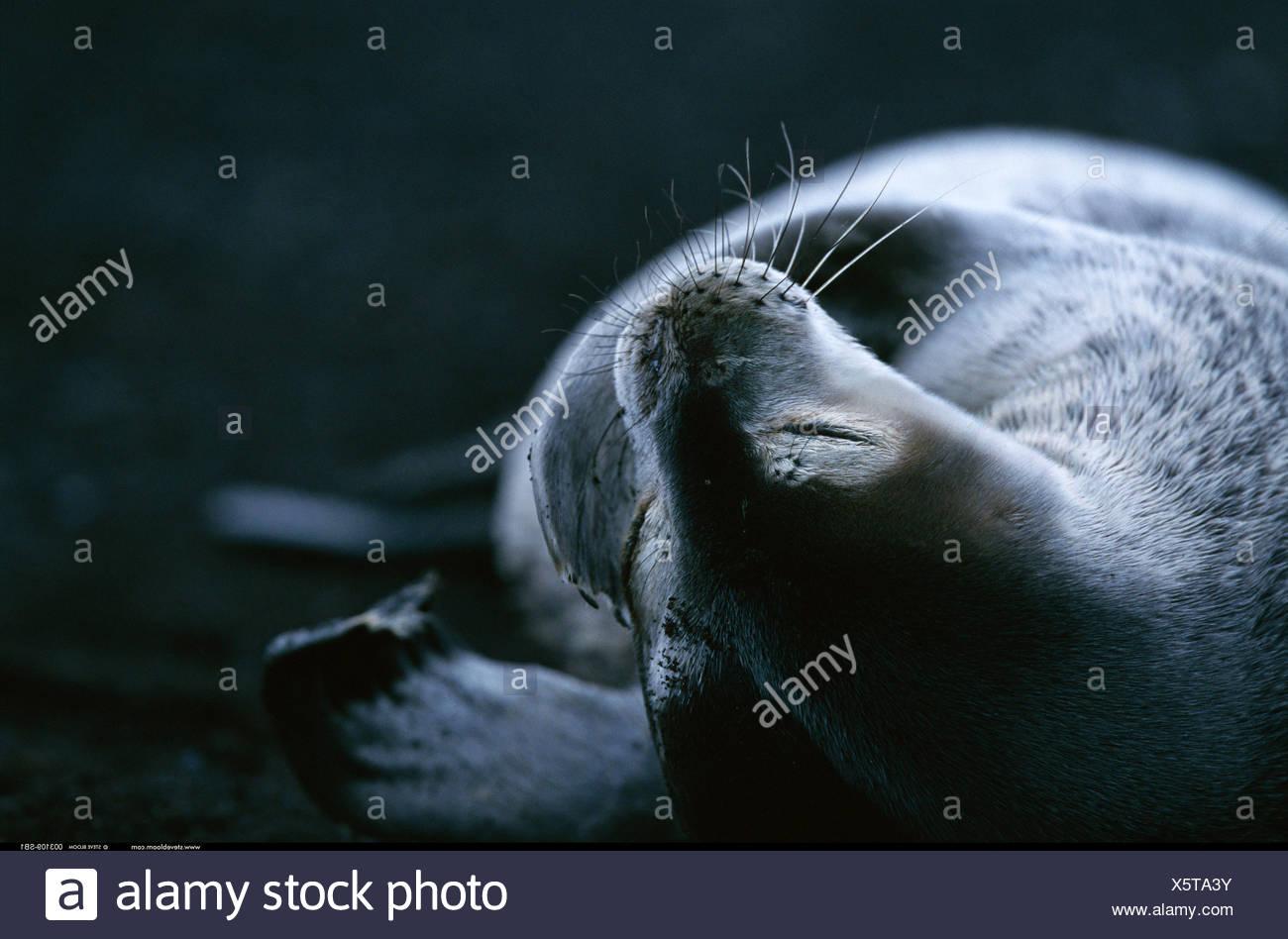 Fur seal Deception Island Antarctica - Stock Image