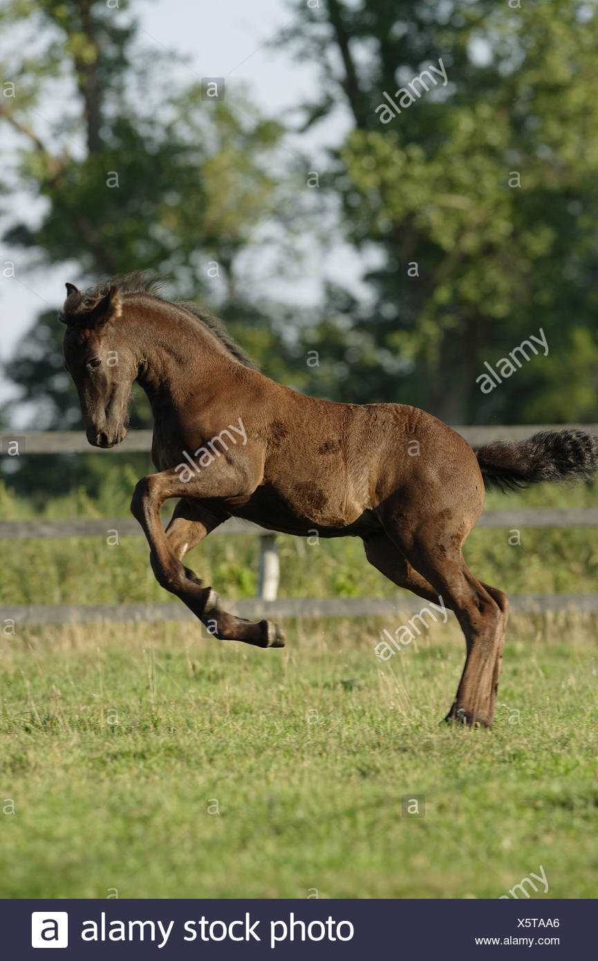 Friesian Horse Foal Jumping On Meadow Stock Photo Alamy