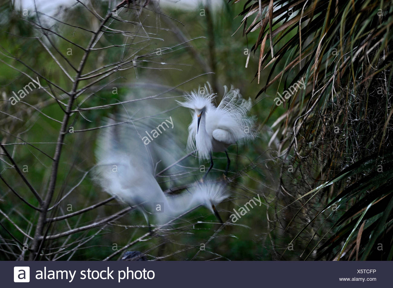 Snowy Egret Egretta thula in territorial dispute at breeding colony Florida USA - Stock Image