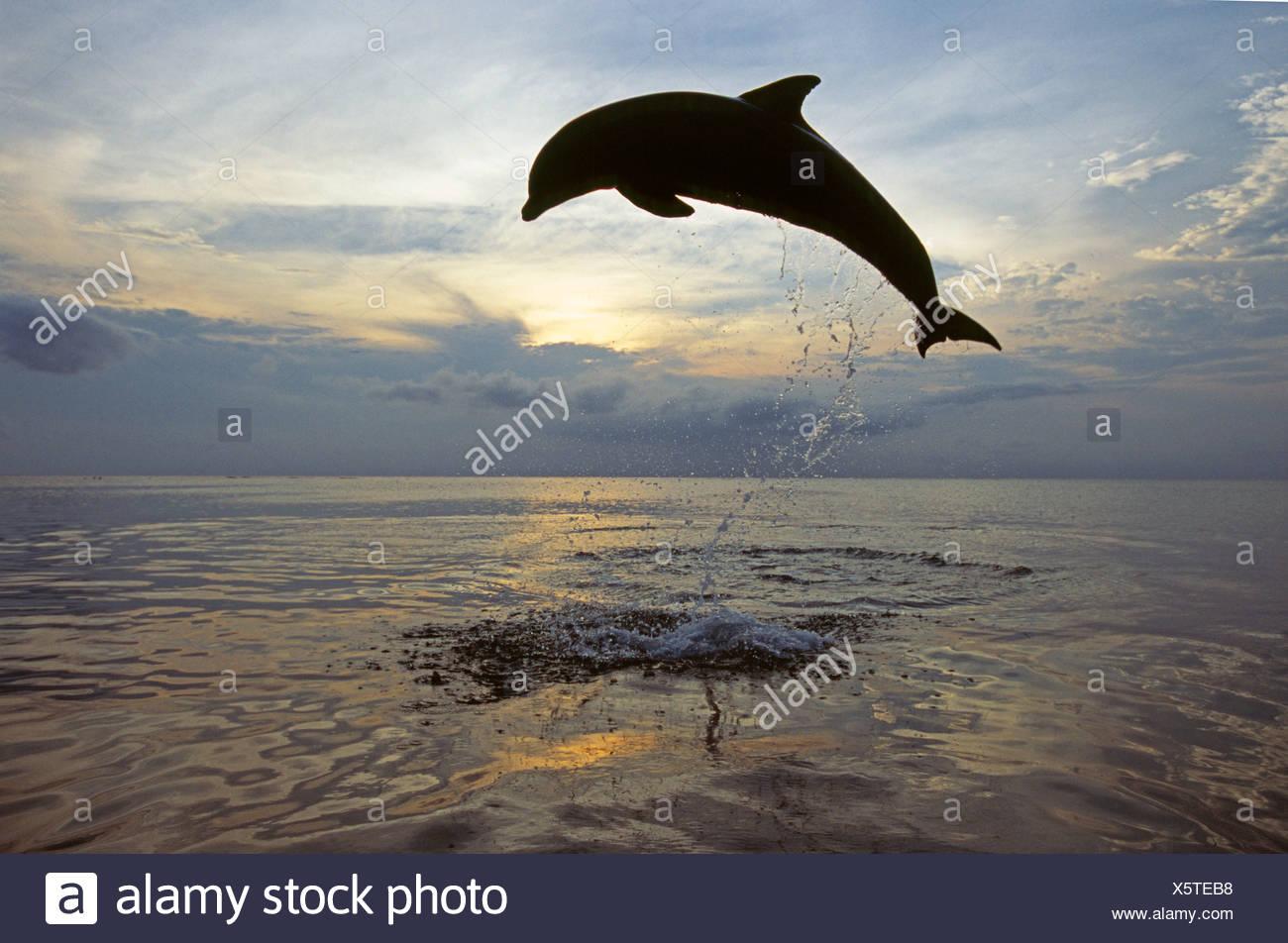 Bottlenose Dolphin Tursiops truncatus leaping Caribbean Stock Photo