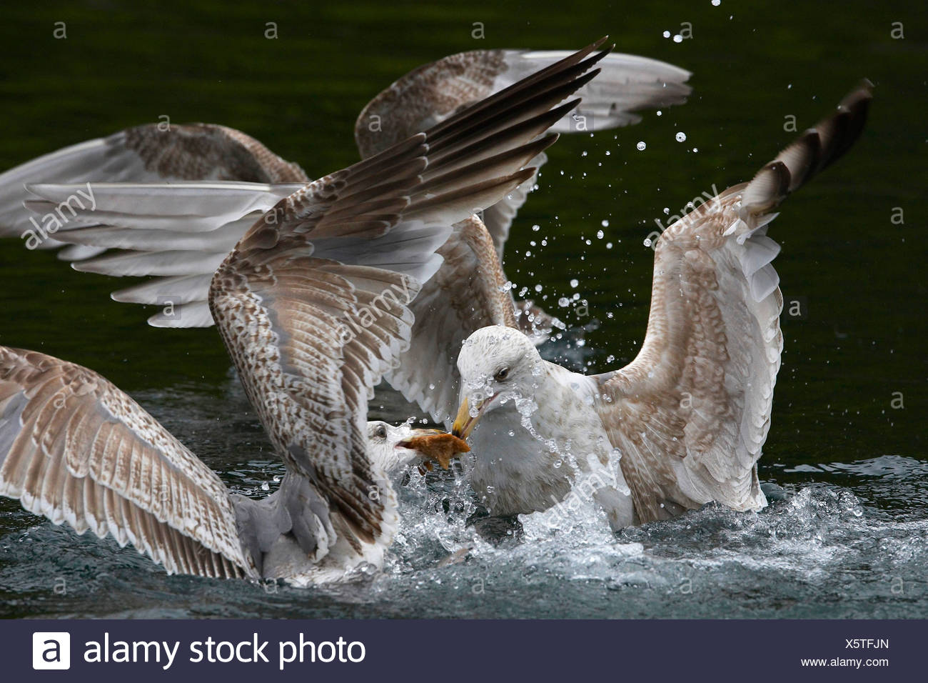 herring gull (Larus argentatus), two young birds fighting for prey, Norway, Trondelag, Flatanger, Lauvsnes - Stock Image