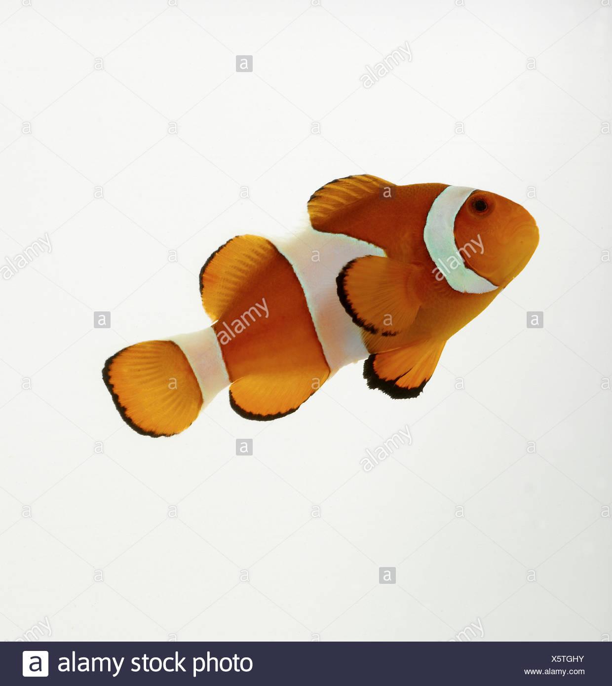 Clown Fish Stock Photos & Clown Fish Stock Images - Alamy