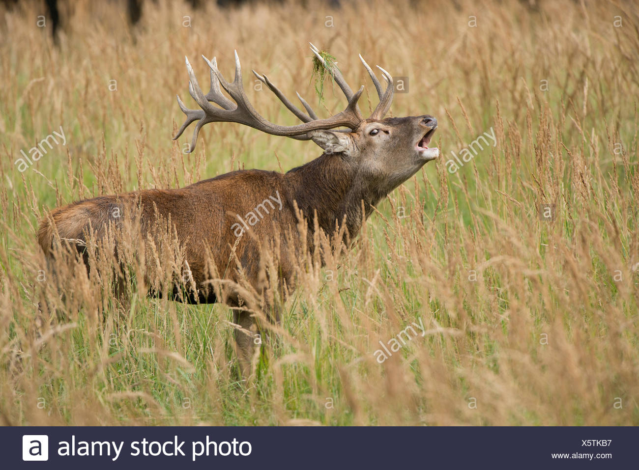 Red Deer (Cervus elaphus) bugling in the rutting season, captive, Saxony, Germany - Stock Image