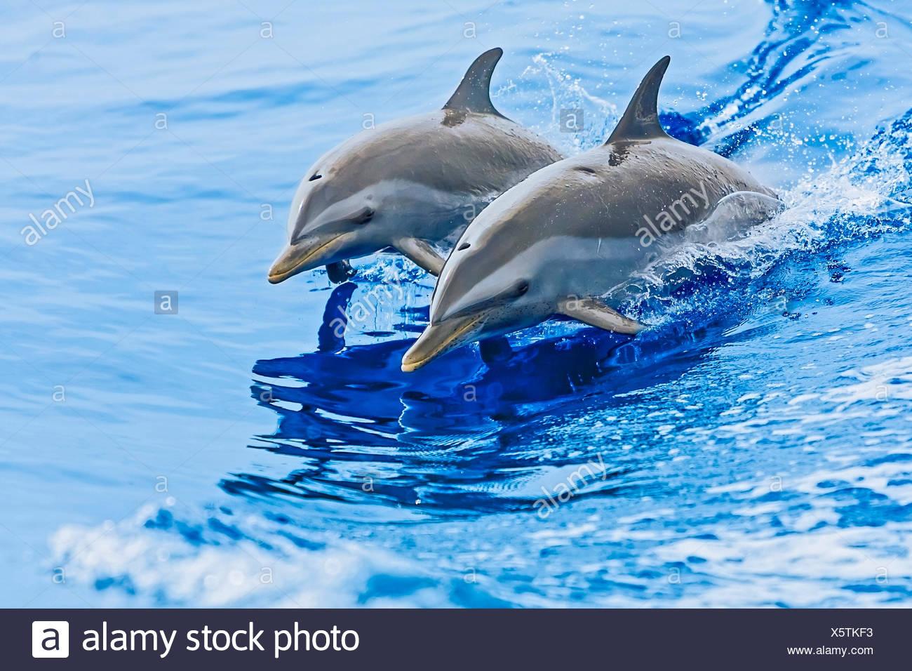 Pantropical Spotted Dolphin, Stenella attenuata, Hawaii, USA - Stock Image