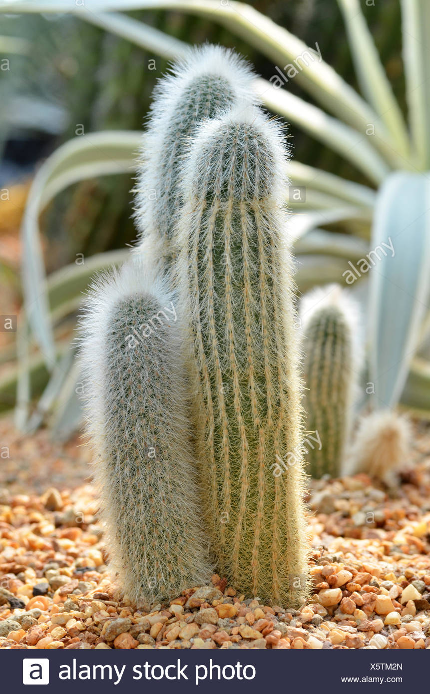 Old Peruvian Man Cacti from the Andes mountains Stock Photo