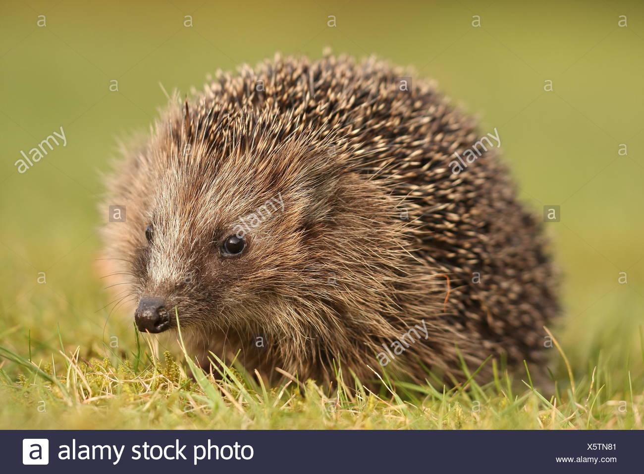 mammal sting hedgehog - Stock Image
