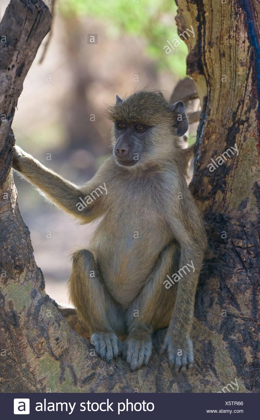 young baboon, amboseli national park, kenya - Stock Image