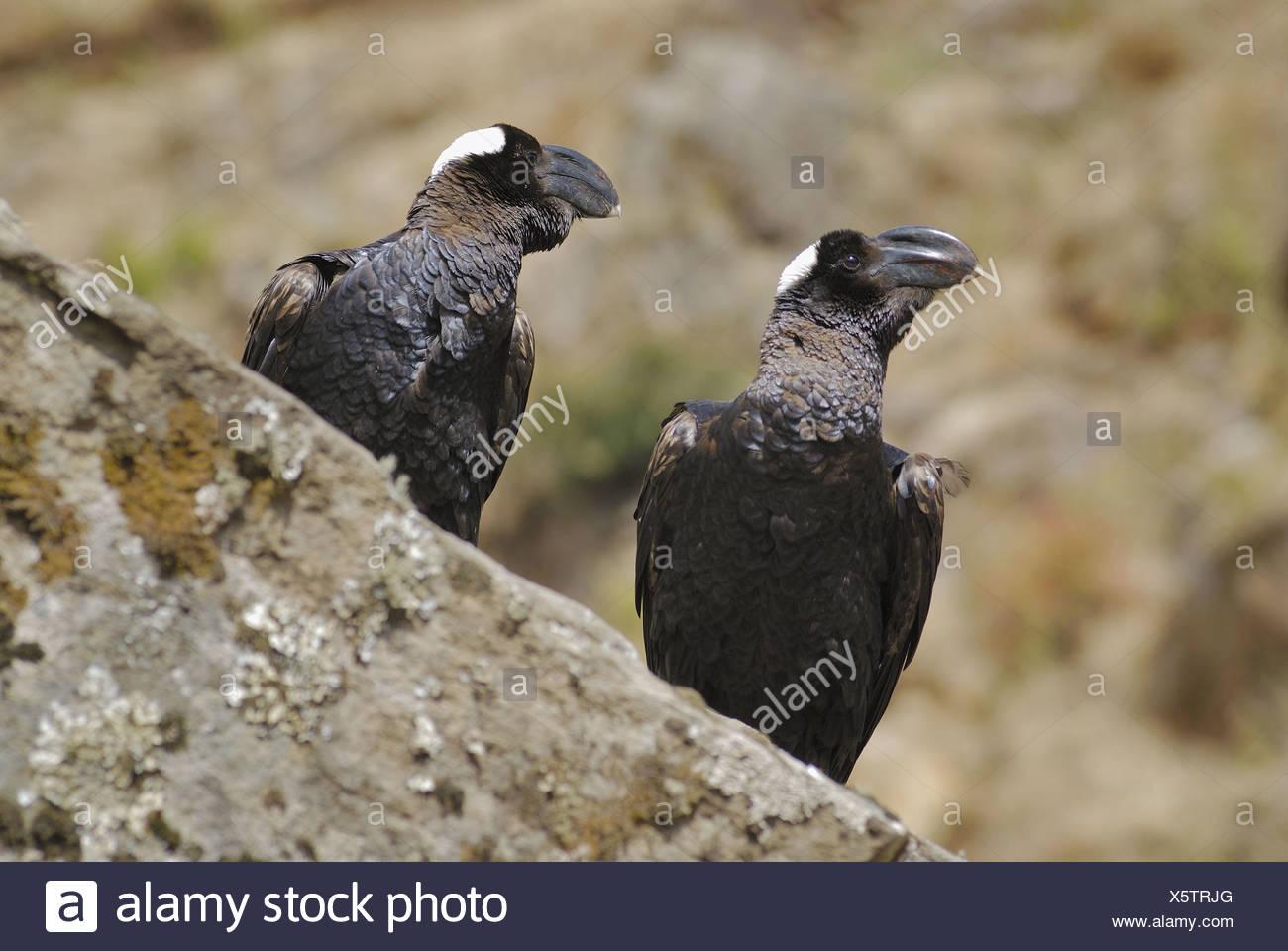 Corvus crassirostris - Stock Image