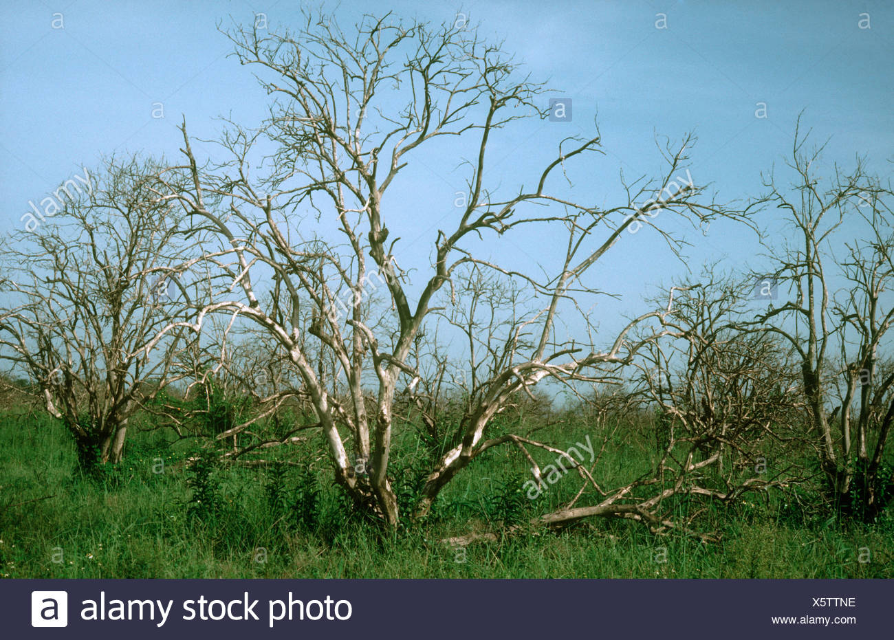 Orange trees killed by unusually severe frost in northern Florida USA - Stock Image