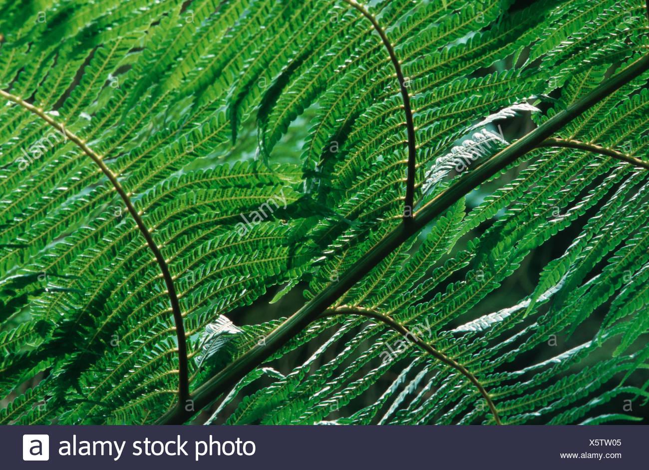 Cooper's cyathea, Australian tree fern, lacy tree fern, scaly tree fern (Cyathea cooperi, Sphaeropteris cooperi, Alsophila cooperi), view on the underside of a frond - Stock Image