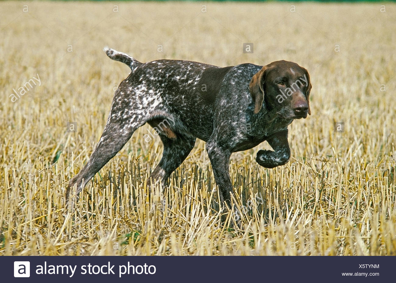 German Short-Haired Pointer Dog , Dog Pointing - Stock Image