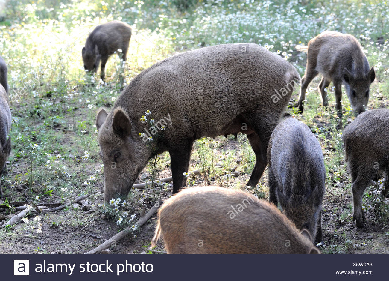 Wild boars, making a mess - Stock Image