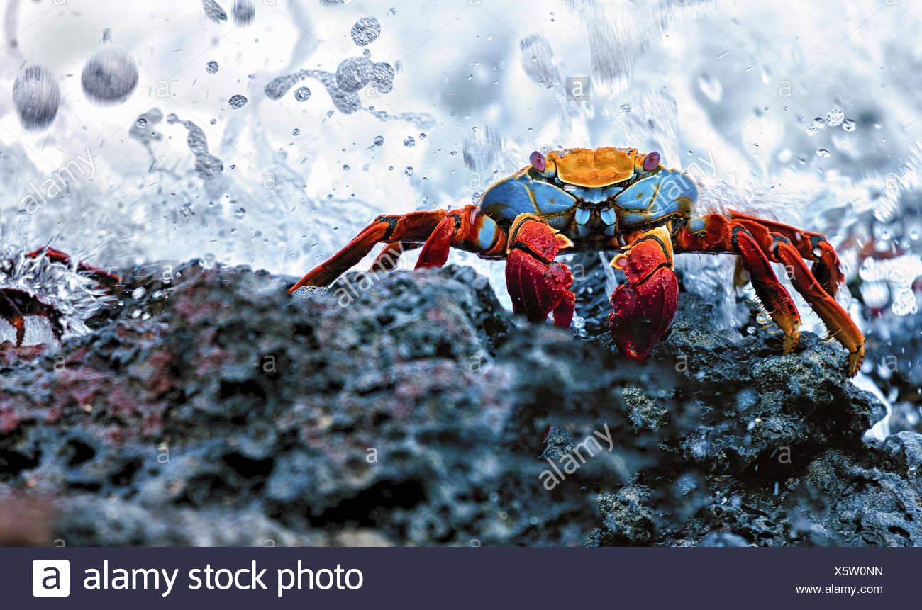 Sally Lightfoot Crab, Grapsus grapsus found in the Galapagos Islands. - Stock Image