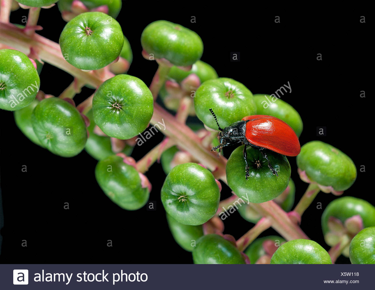 Melasoma populi on pokeweed berries - Stock Image
