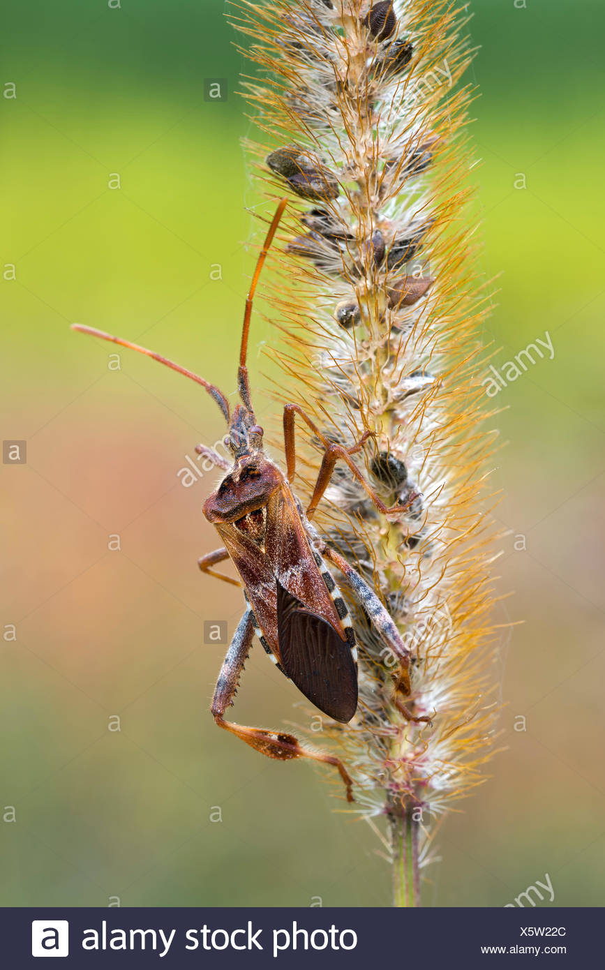 Western Conifer-seed Bug (Leptoglossus occidentalis), Burgenland, Austria - Stock Image