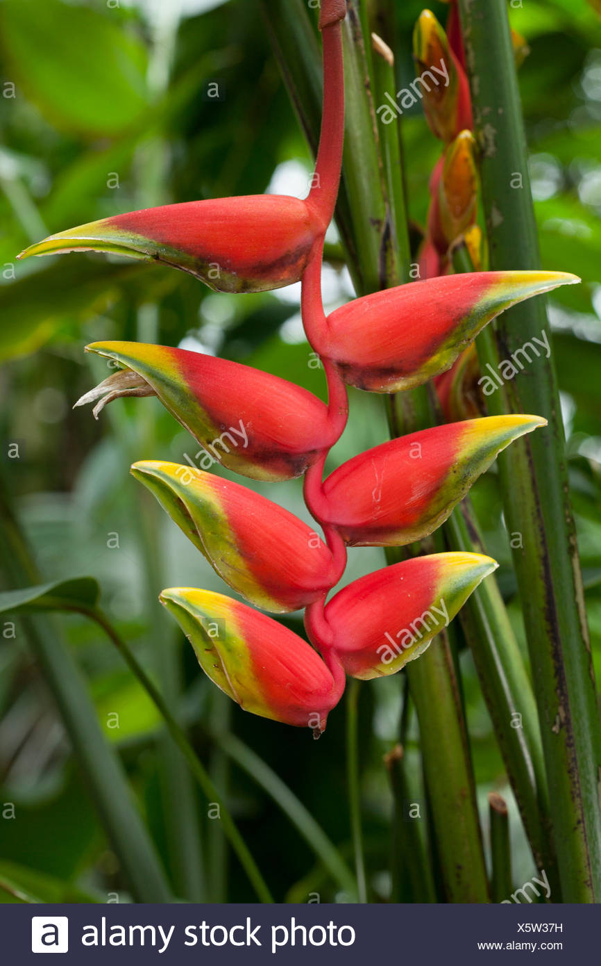 Pendent Heliconia (Heliconia pendula), native to south Mexico - Stock Image
