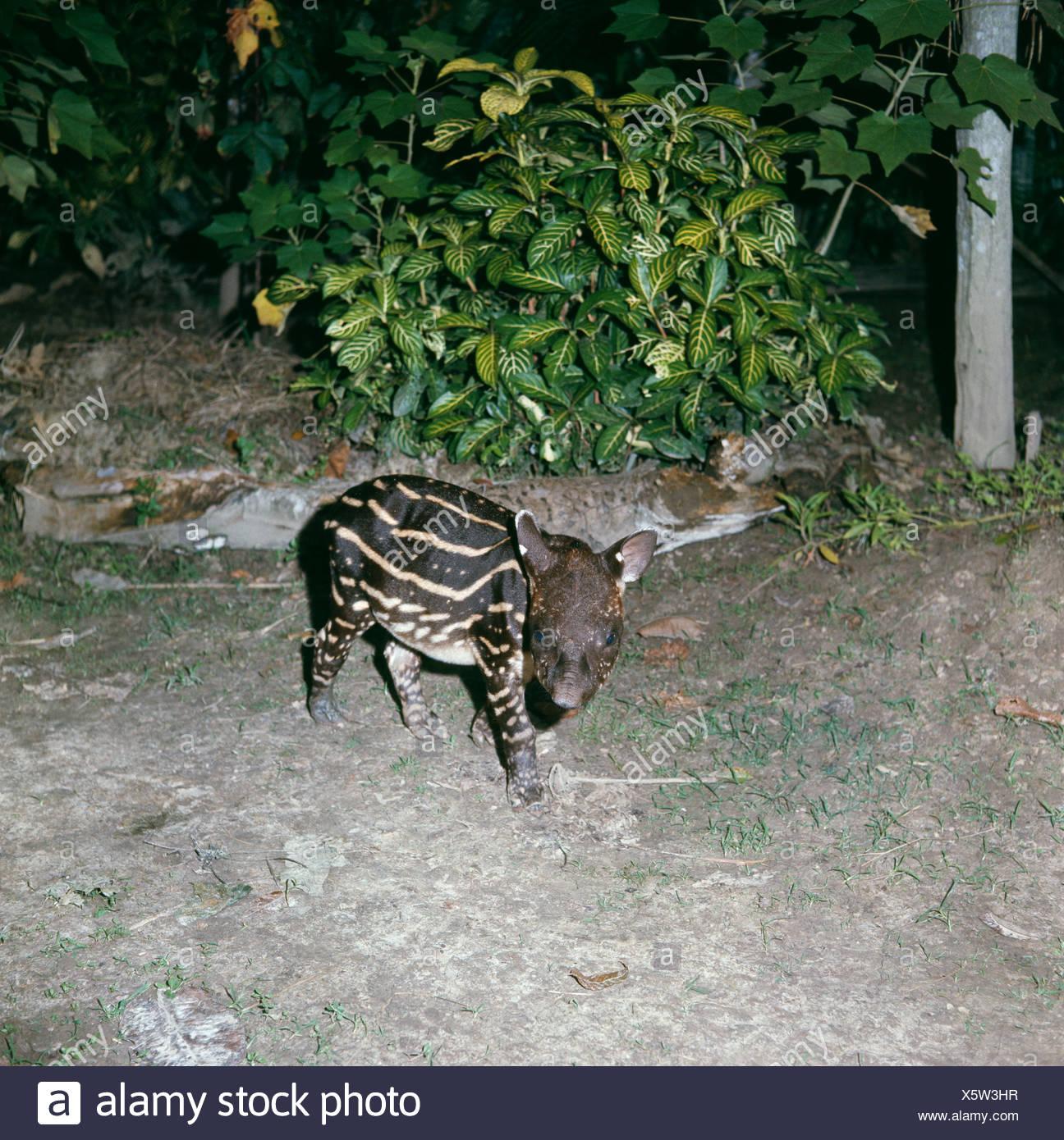 Amazon Tapirs Stock Photos & Amazon Tapirs Stock Images
