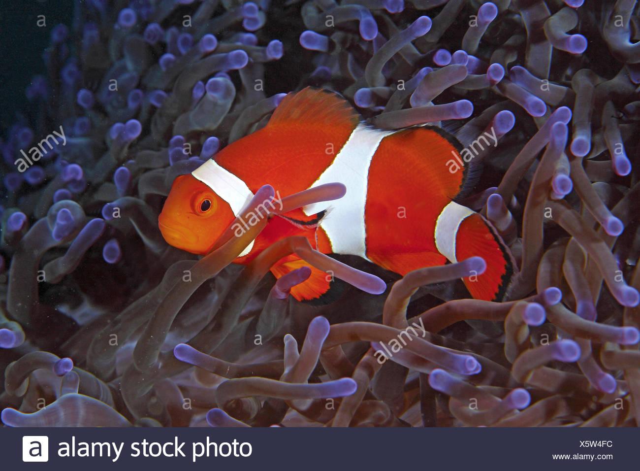 Ocellaris Clownfish (LATINO), in Sea anemone (Actiniaria), Indo-Pacific, Philippines - Stock Image