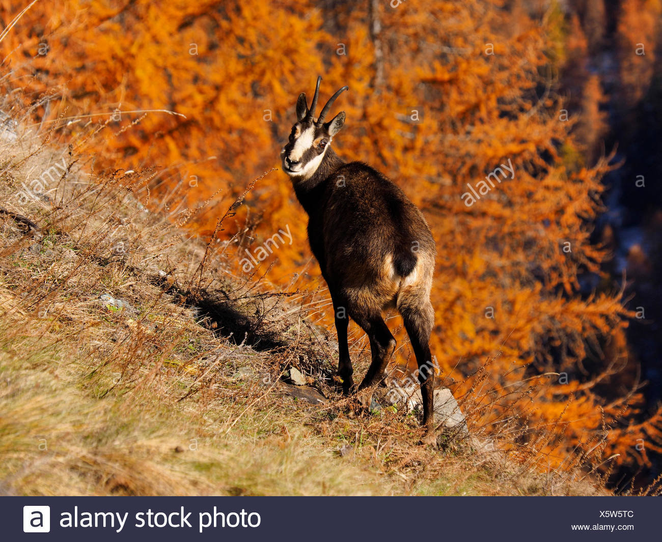 chamois (Rupicapra rupicapra), on a slope in autumn, Italy, Gran Paradiso National Park - Stock Image