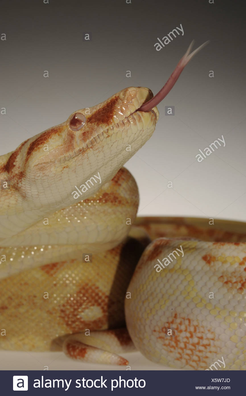 B Constrictor Stock Photos B Constrictor Stock Images Alamy