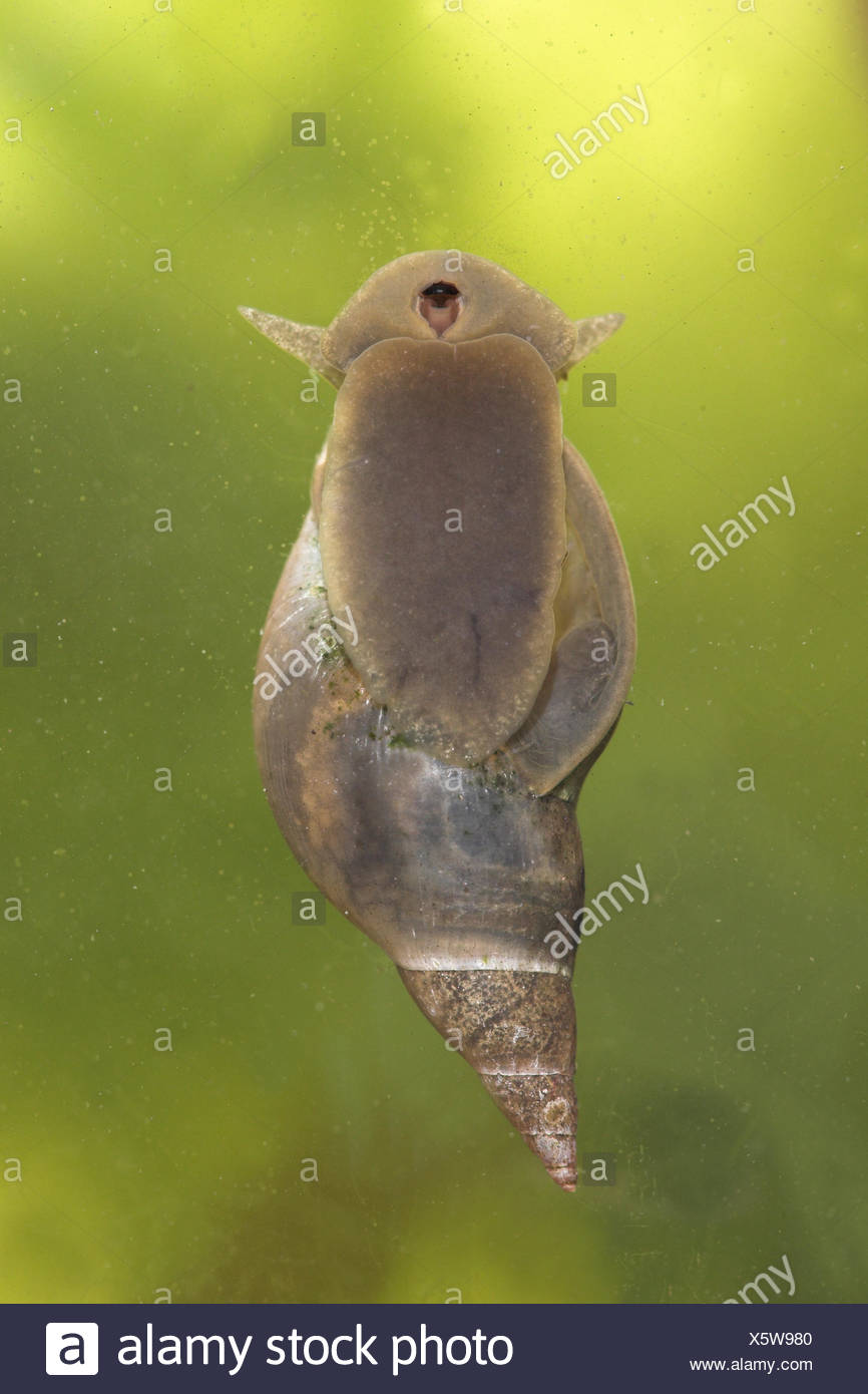 great pond snail photographed from bellow Stock Photo