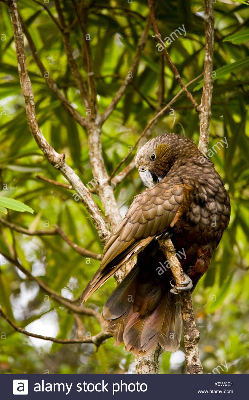 A wild Kaka (immediate relative of the Kea) cleans his plumage. - Stock Image