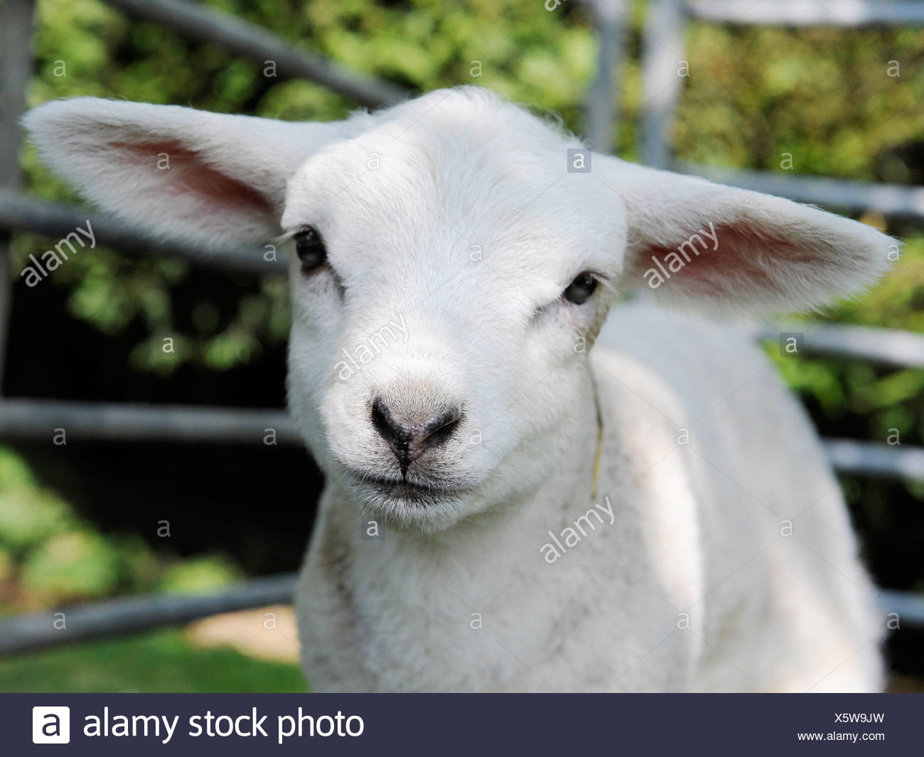 Cute little white lamb. - Stock Image