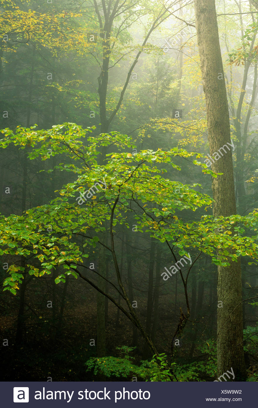 Witchhazel forest, Kettle Creek State Park, Pennsylvania. - Stock Image
