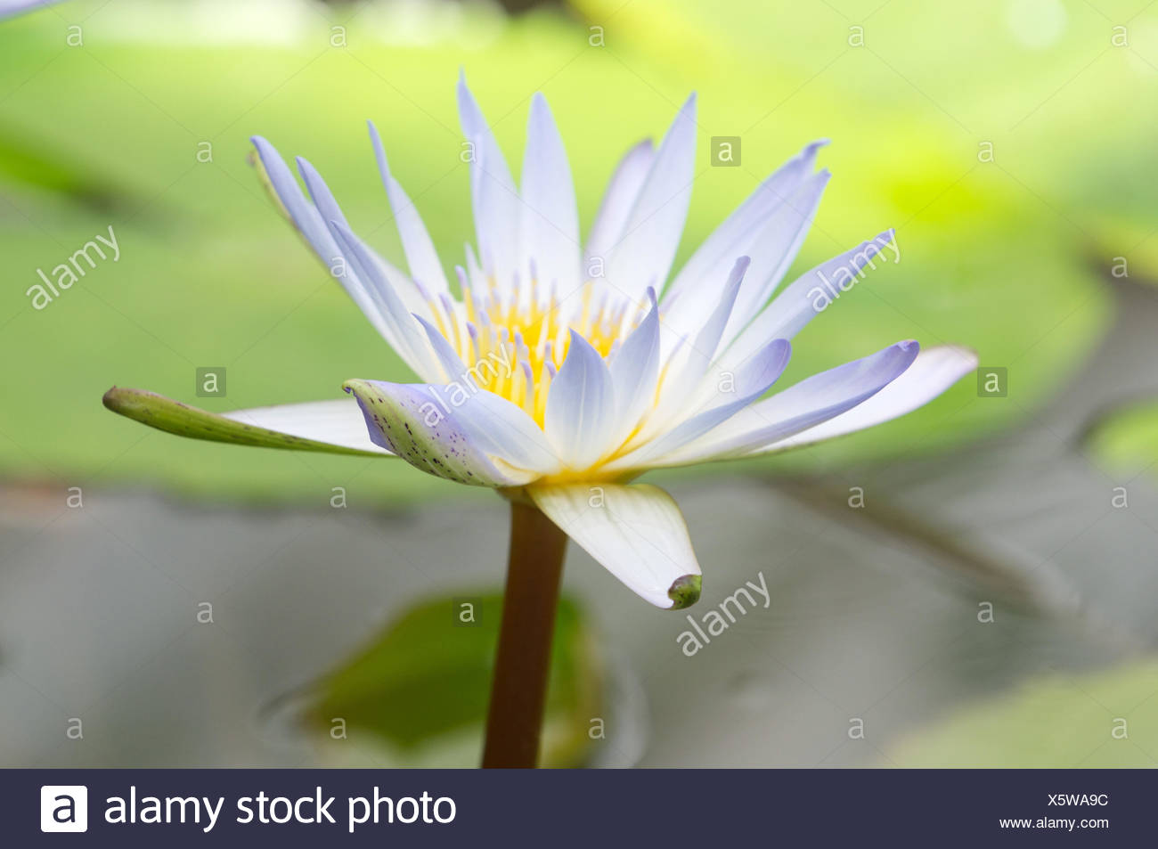 White Egyptian Lotus Blossom Close Up Stock Photo 278996072 Alamy