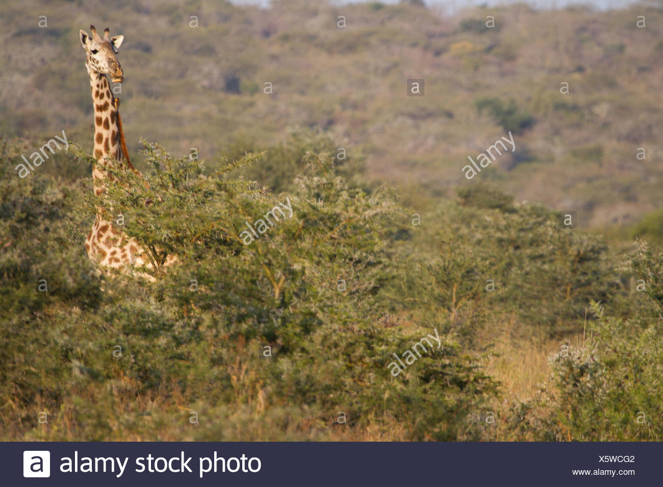 A giraffe, head above the tree tops on the Maasai steppe. - Stock Image