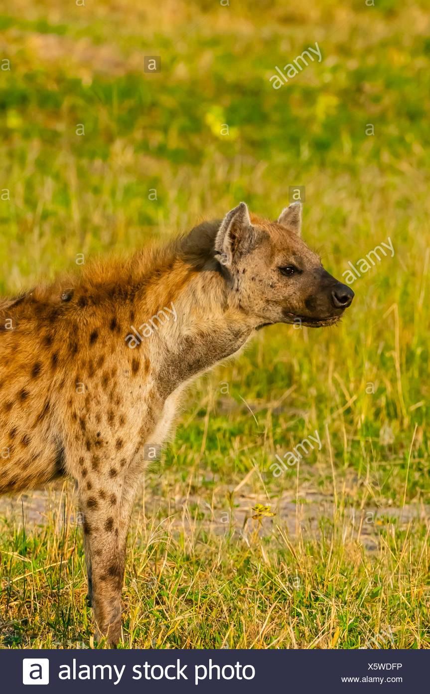 Spotted hyena, Kwando Concession, Linyanti Marshes, Botswana. Stock Photo